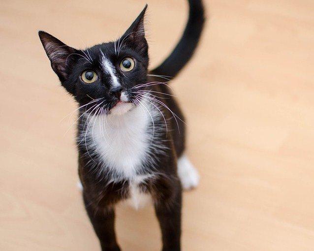 Características de un gato