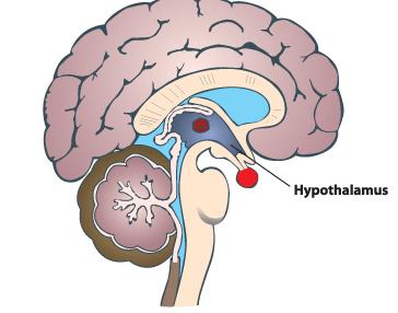 características de Hipotálamo