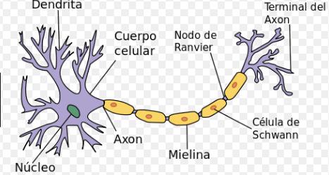 características de Neurona