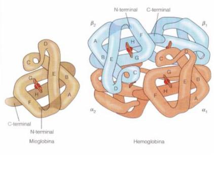 características de Hemoglobina
