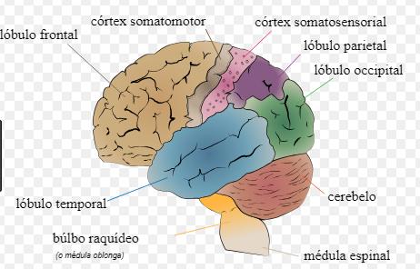 características del Cerebro Humano