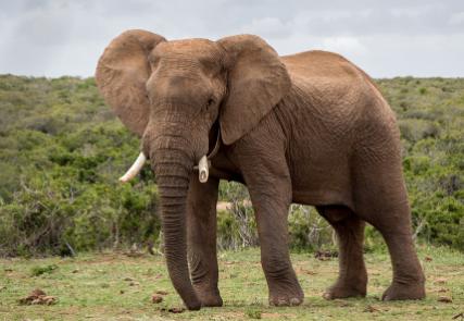 características de un Elefante