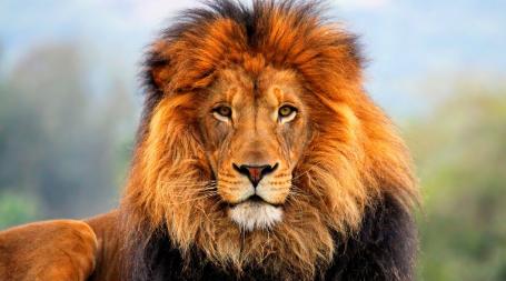 características de un León