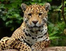 características de Jaguar
