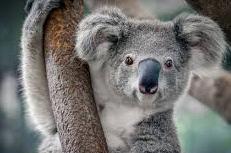 características de Koala
