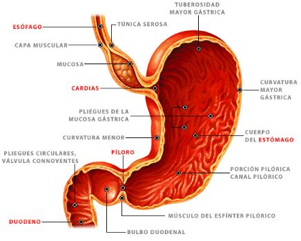 características del Estómago