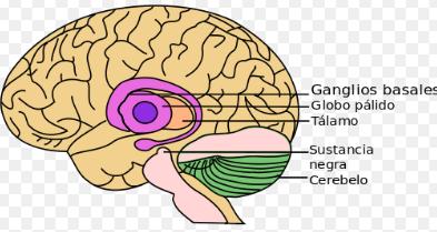 características de Cerebelo