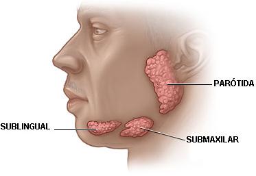 características de las Glándulas Salivales