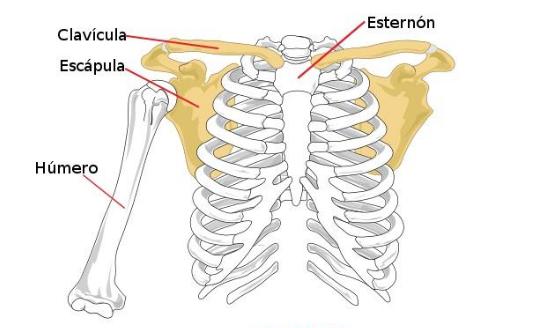 características de la Cintura Escapular