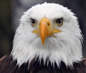 Características De Las Águilas