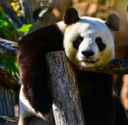 características del Panda