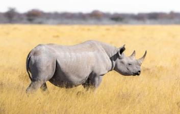 características de los Rinocerontes