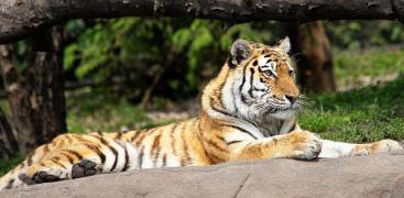 características del Tigre