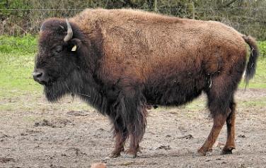 características de un Bisonte