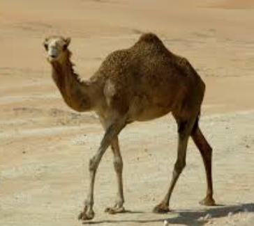 características de los Camellos