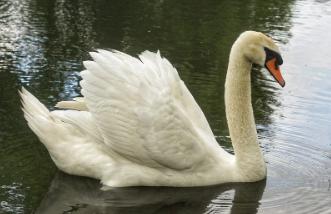 características del Cisne