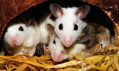 características de los Ratones