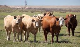 características de la Vaca
