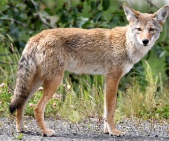 Características de los Coyotes