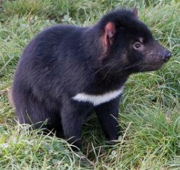 Características de los Demonios De Tasmania