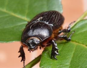 características de los Escarabajos