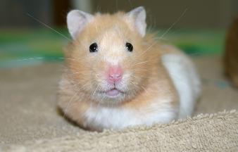 Características de los Hamsters