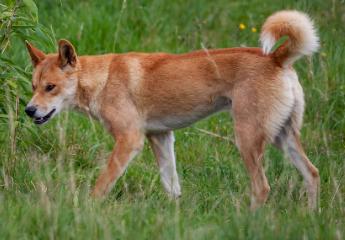 Características del Dingo