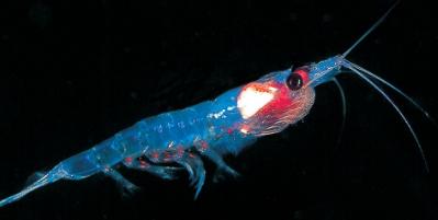 Características del Krill