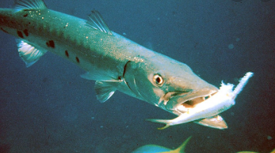 Características de las Barracudas