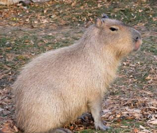 Características de los Capibaras