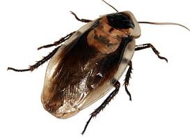 características de la Cucaracha